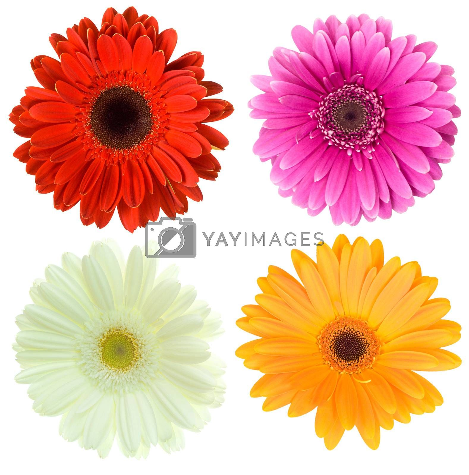 close-up set of gerbera flowers, isolated on white