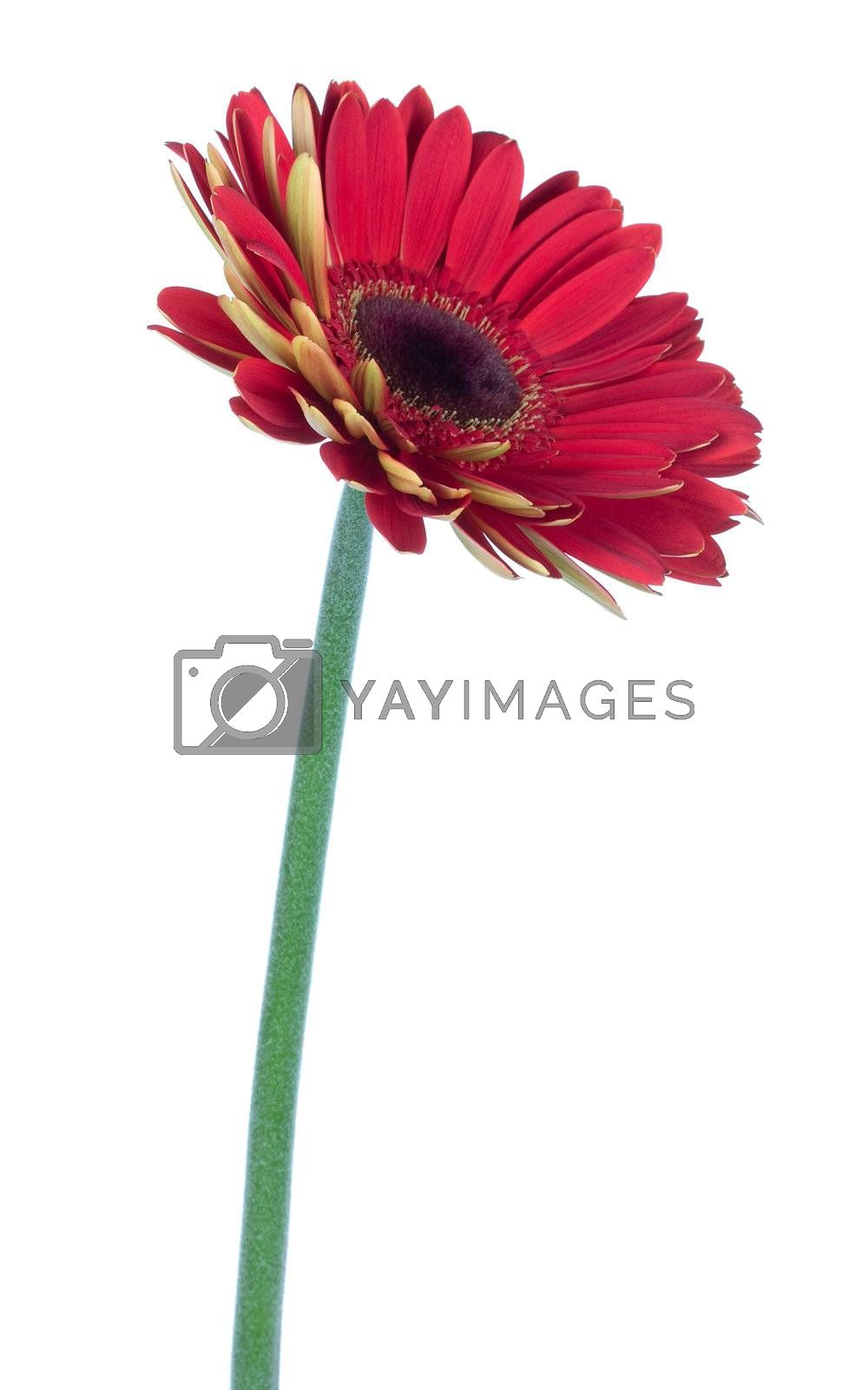 single red gerbera flower, side view, isolated on white