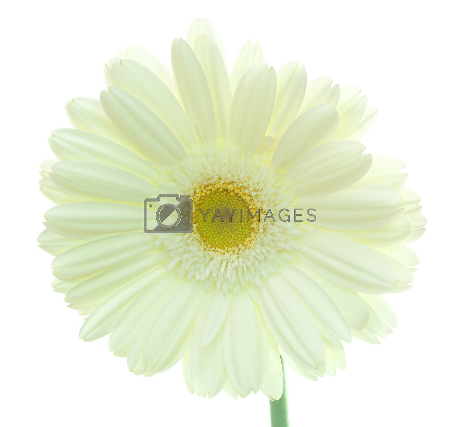 close-up white gerbera flower, isolated on white