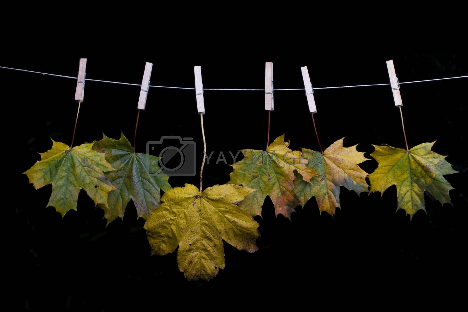 autumn maple leaves on a clothes line