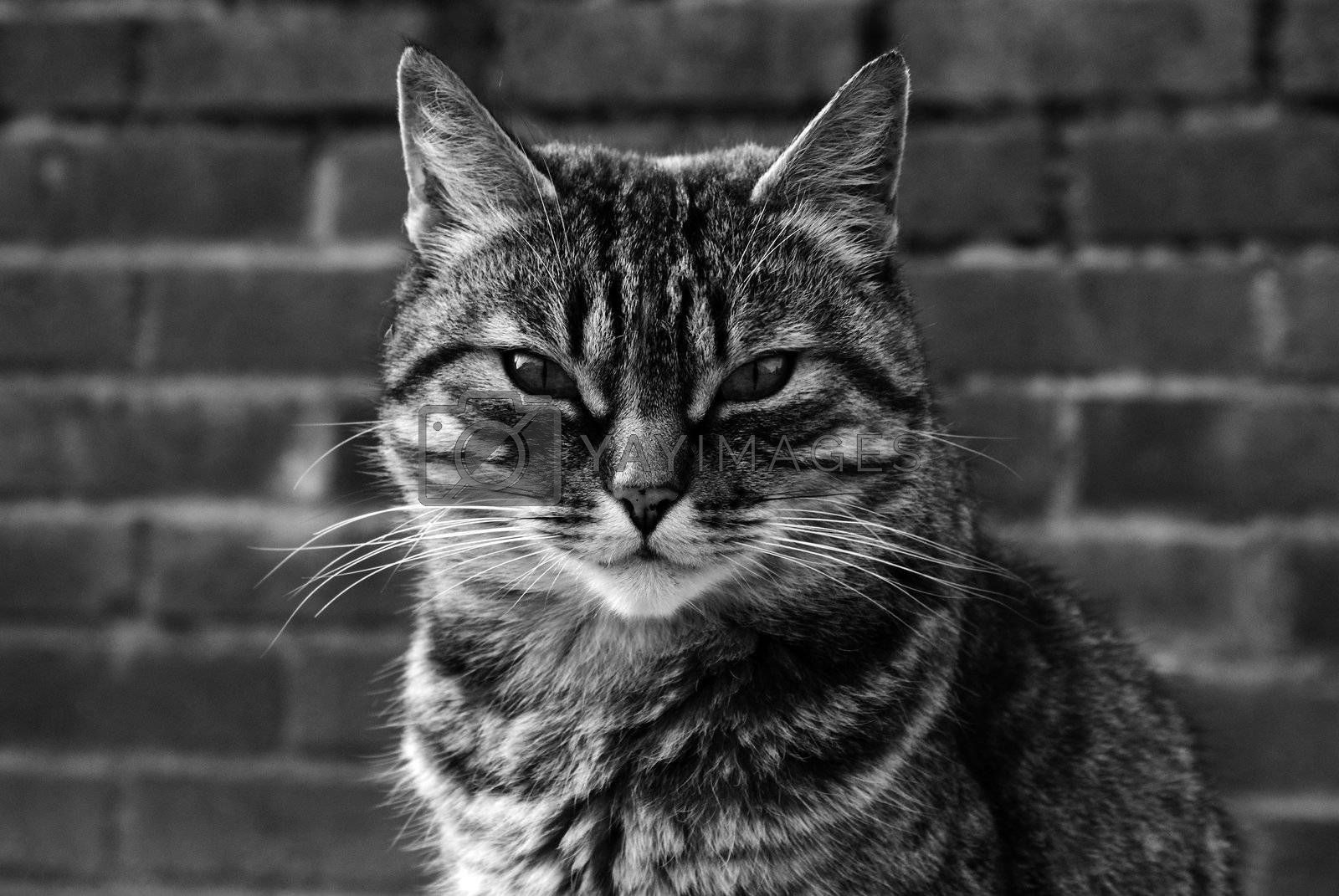 Cat in black and white portrait