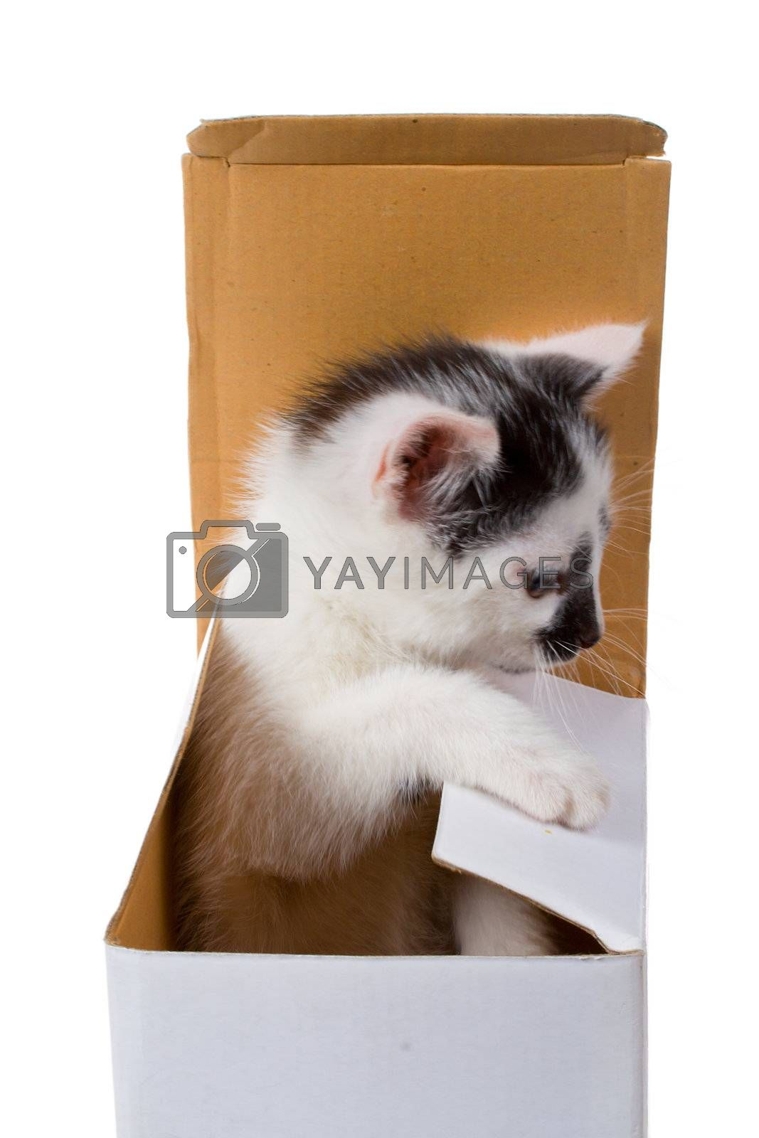 close-up small kitten on box as gift, isolated on white