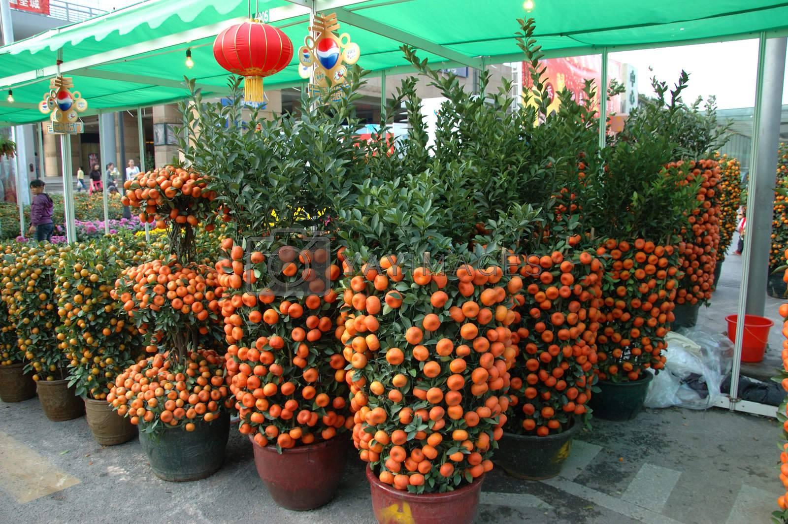 CHINA, SHENZHEN - FEBRUARY 10: Chinese people buying mandarin tree for Chinese New Year on February 10, 2010 in Shenzhen, China.