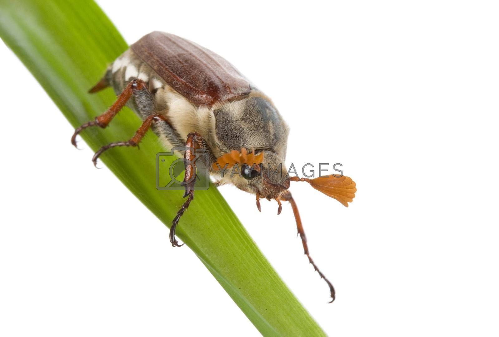 close-up creeping may-bug, isolated on white