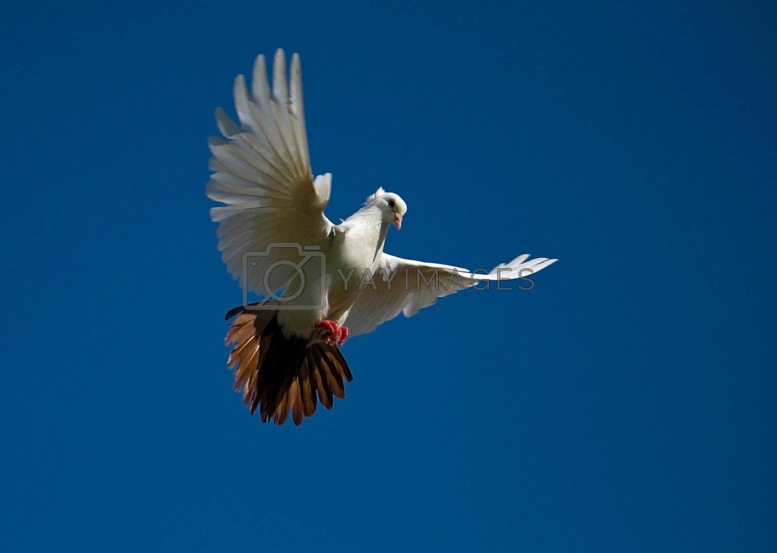 white dove fly in the blue sky