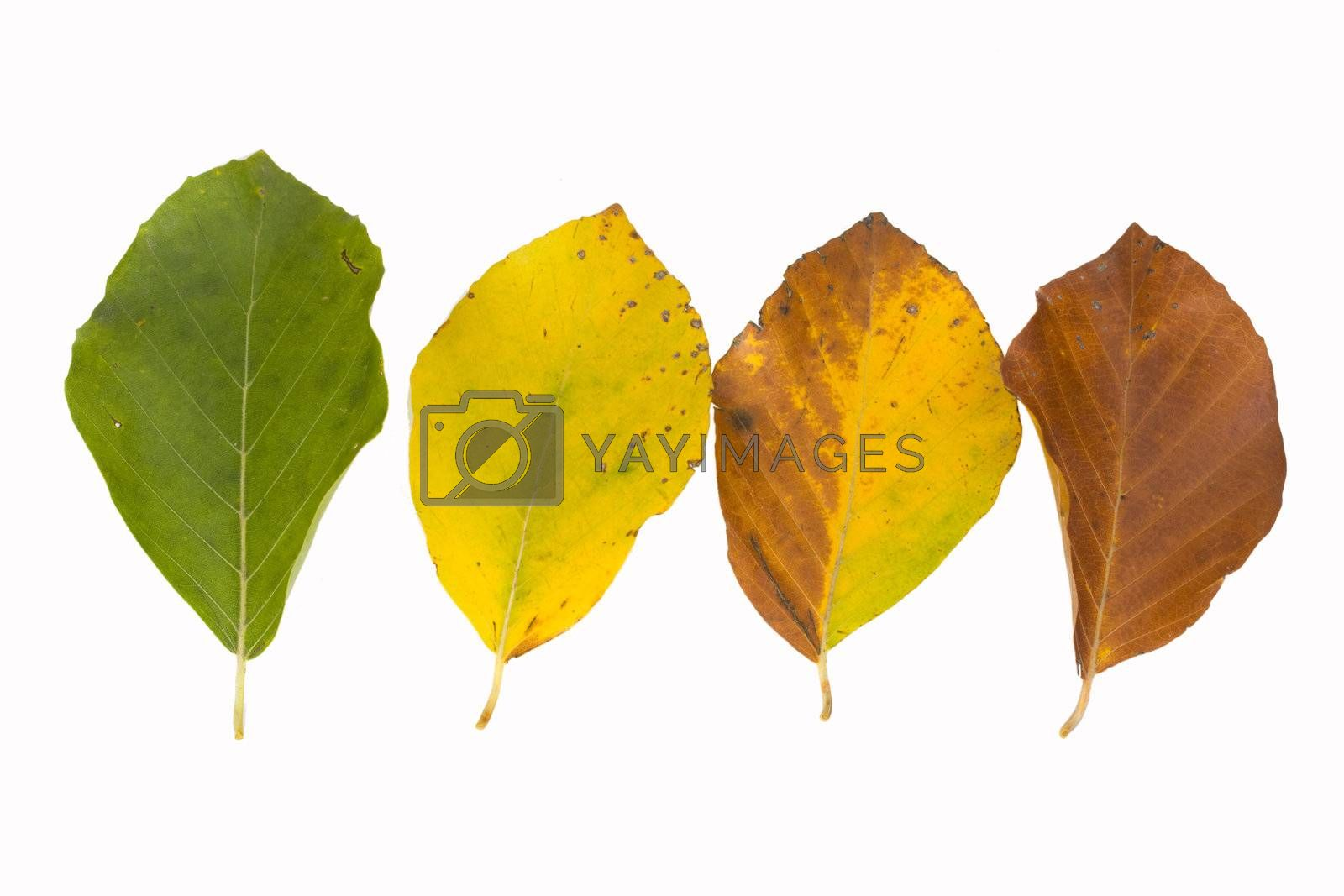 beech leaves in different colors in autumn