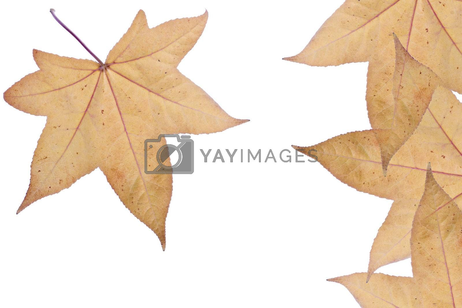 Autumn leaves over white background.