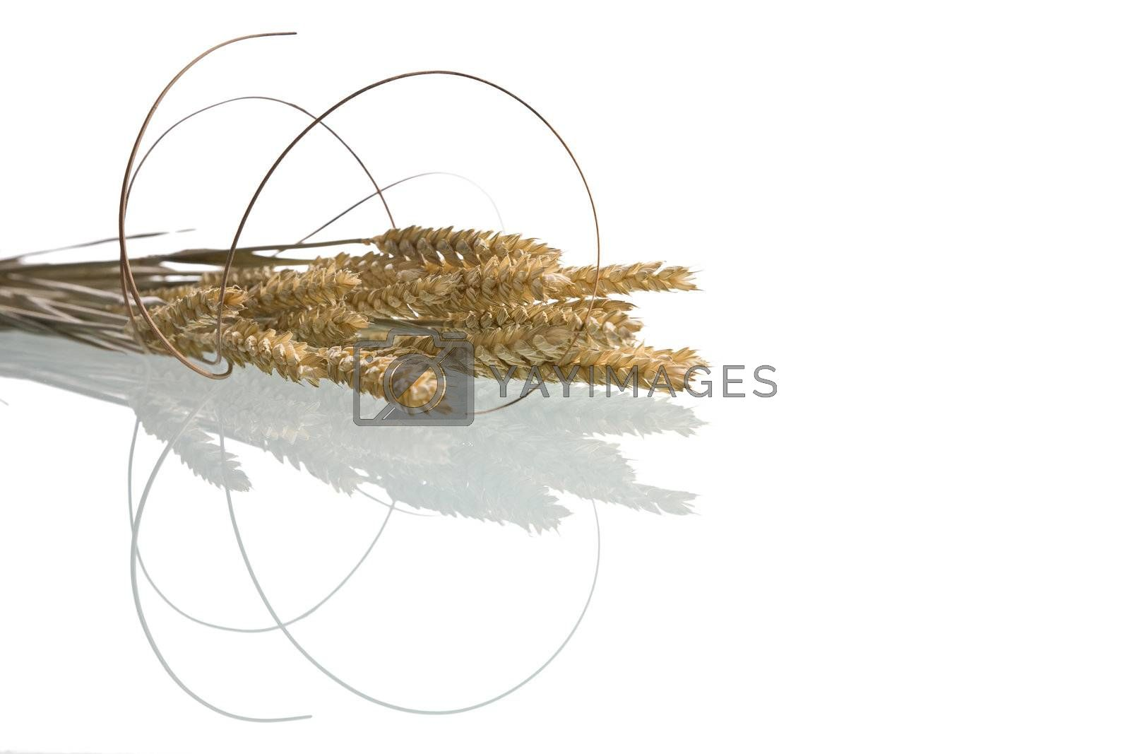 Wheat isolated on white with reflection. Design element.