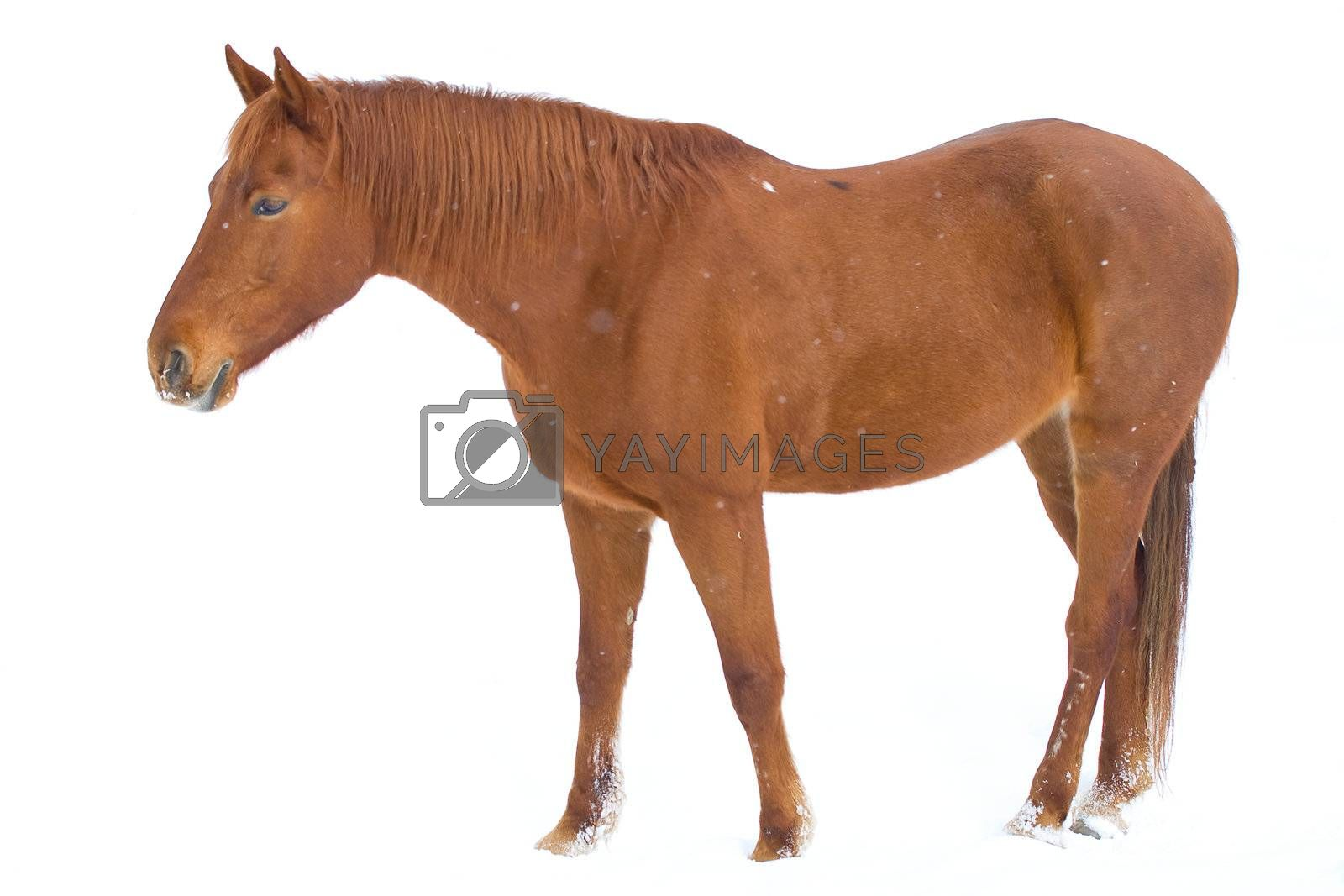 brown horse on snow background