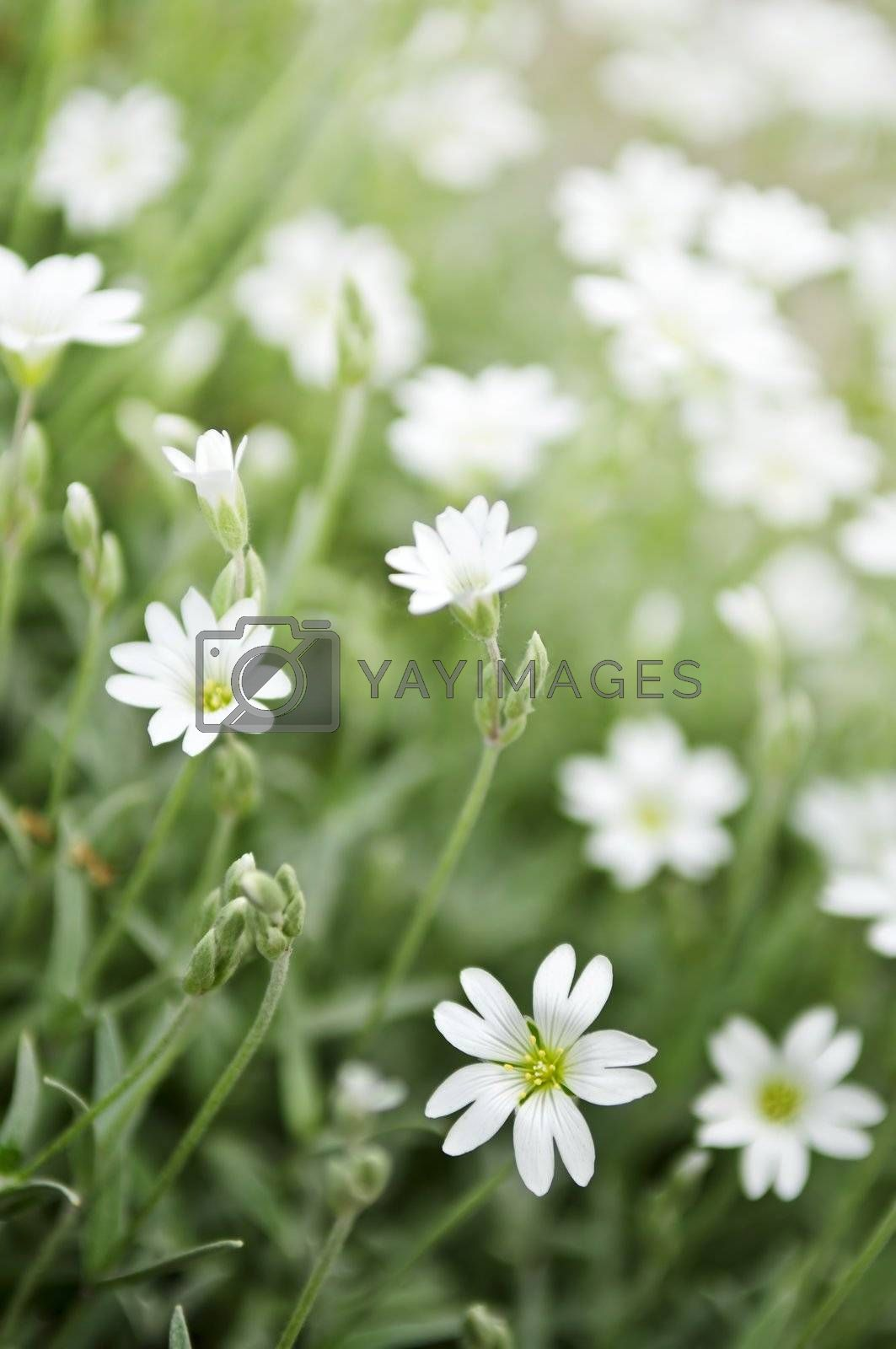 Floral background of cerastium snow-in-summer flowers close up