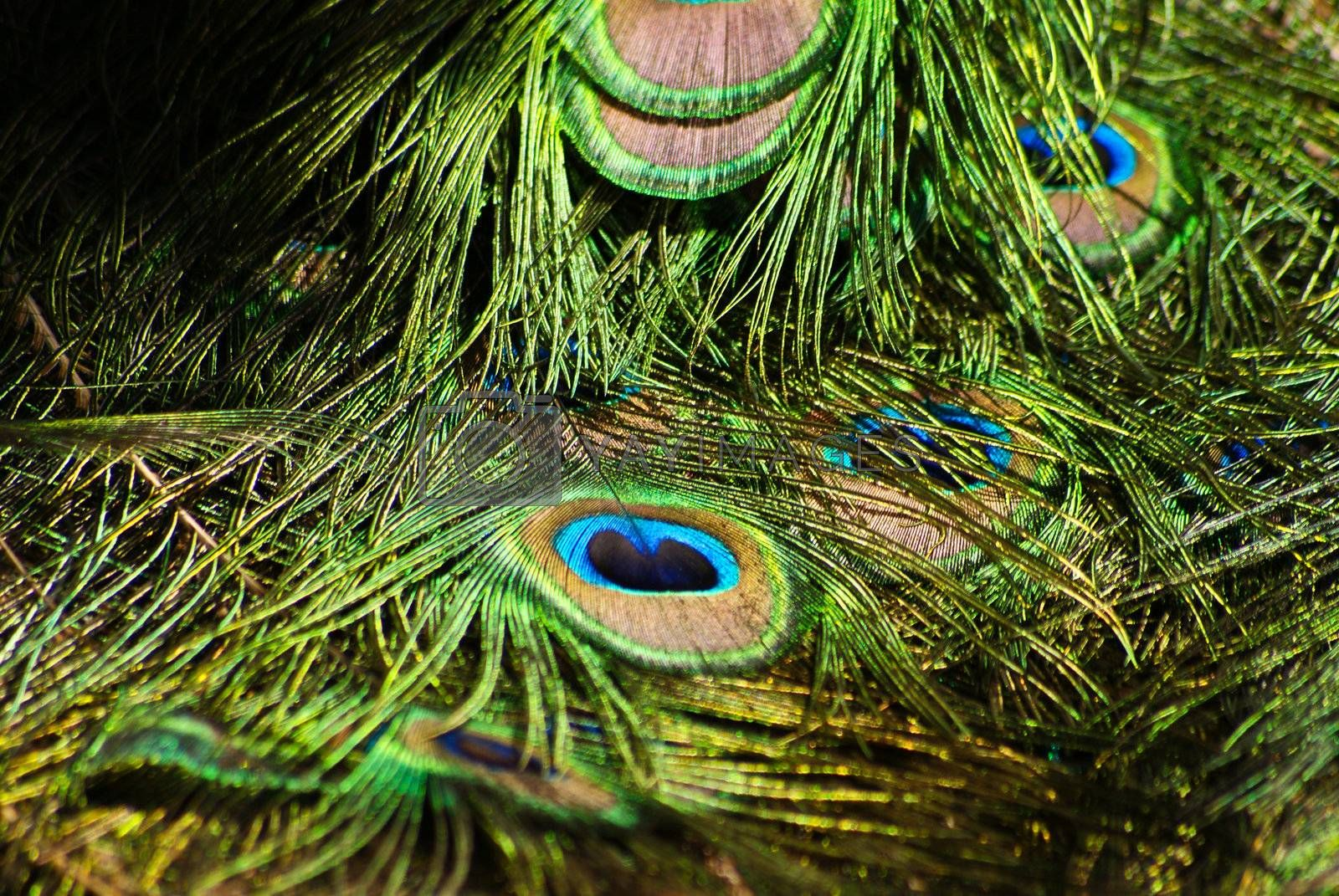 Bright colorful peacock feather