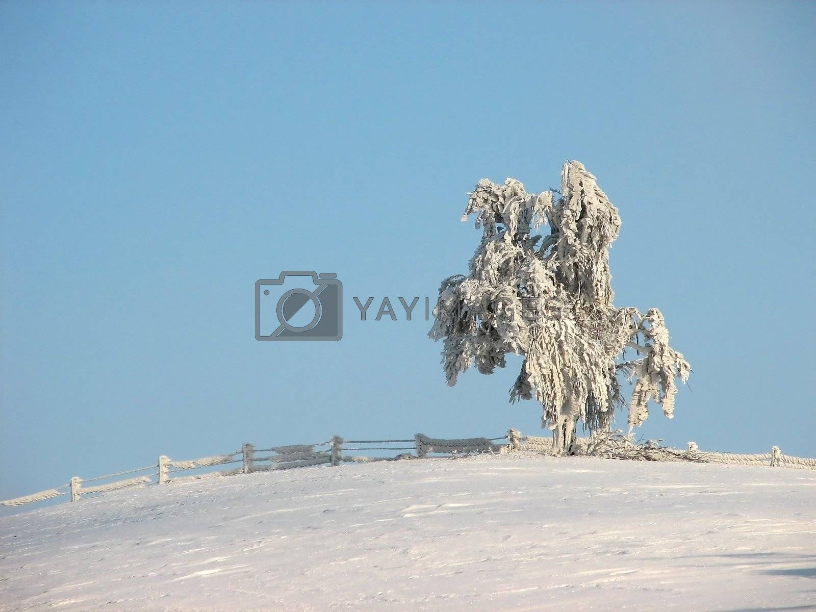 Frosty tree by tuku