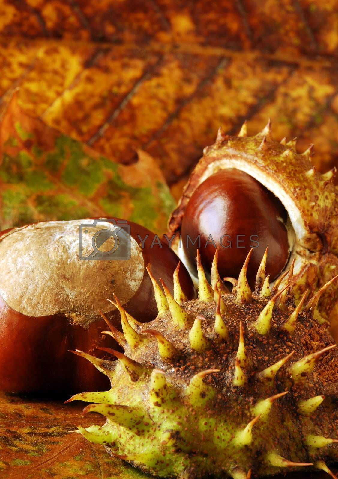 conkers and leaves by massman