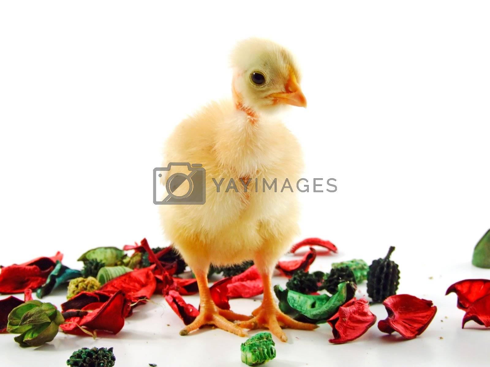 Baby chicken by PauloResende