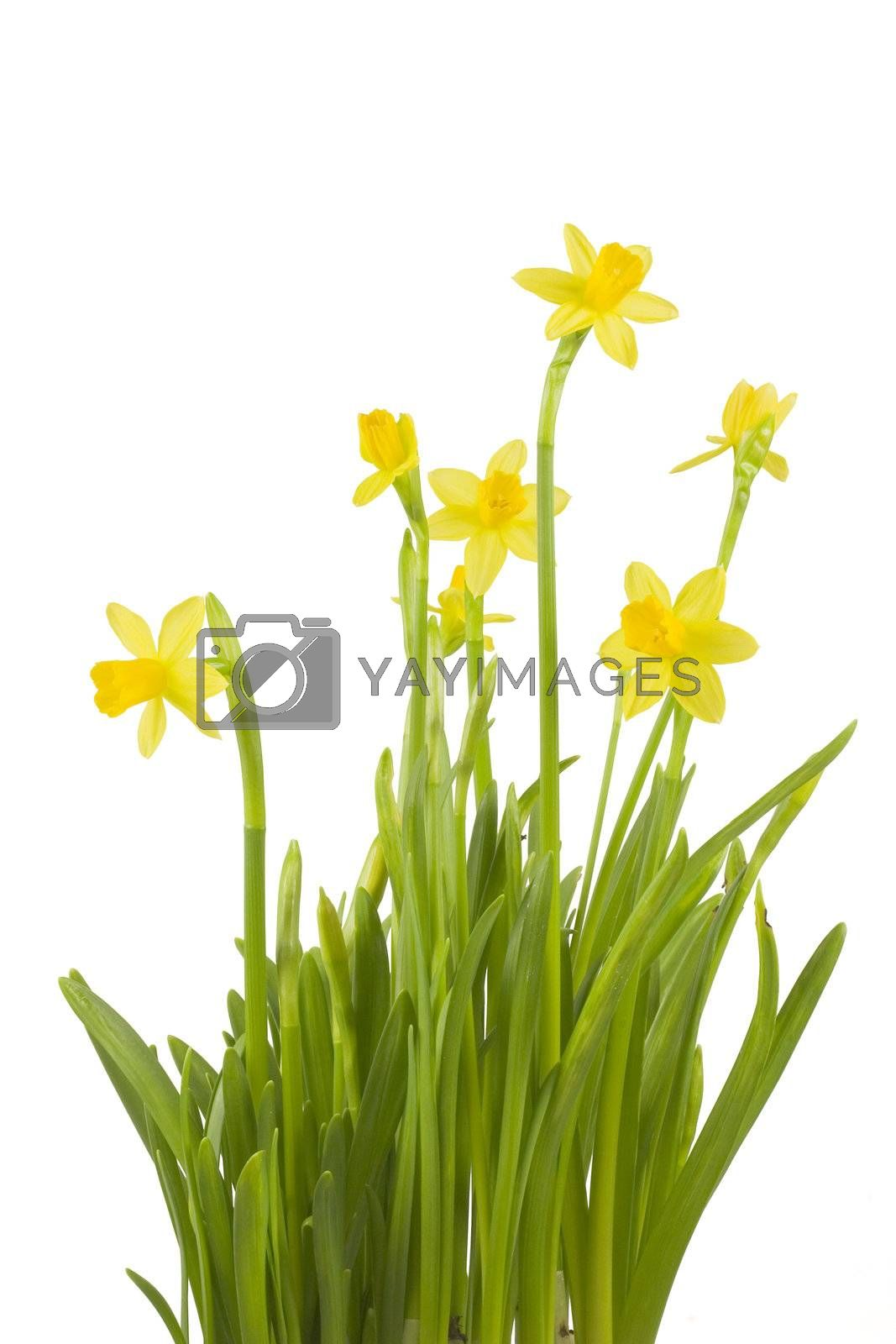 A bunch of daffodils isolated on white