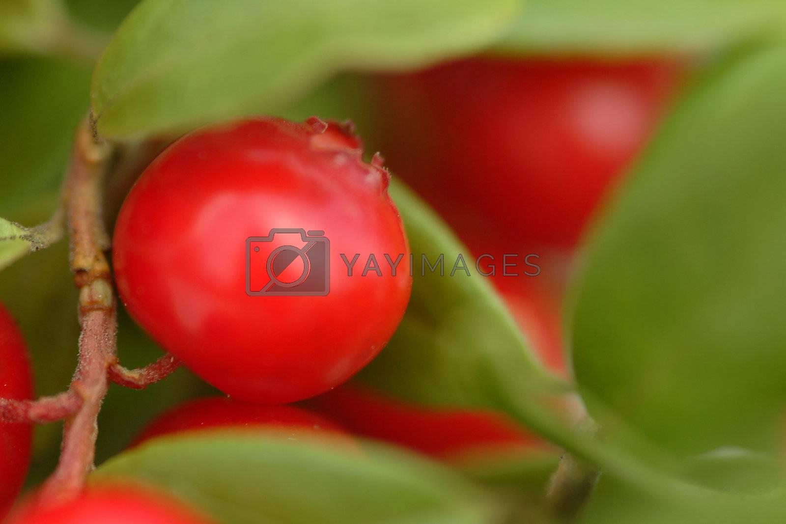 preiselbeere | cranberry by fotofritz