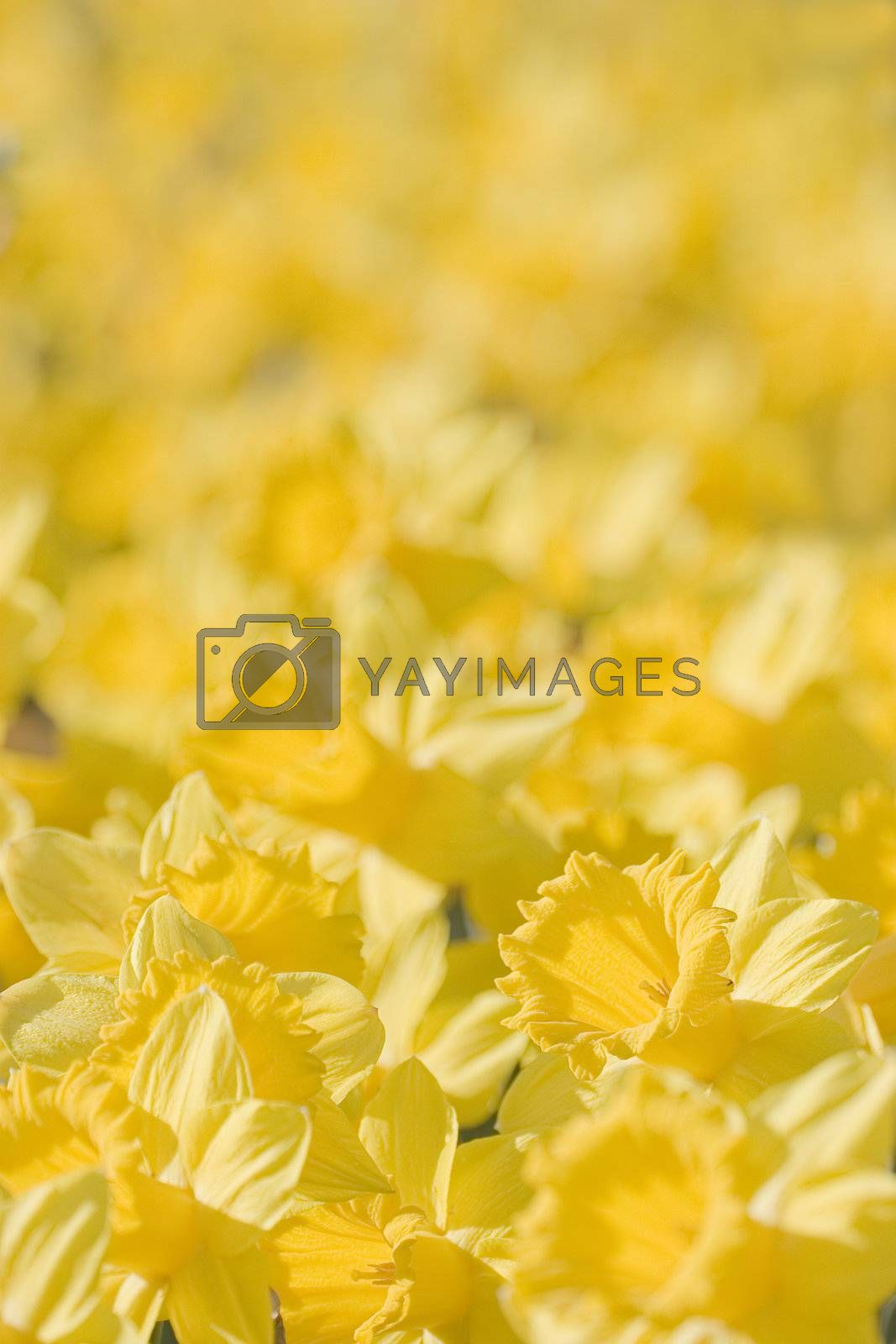 Close-up in a flowerbed of daffodils. Focus only on one daffodil in the foreground.