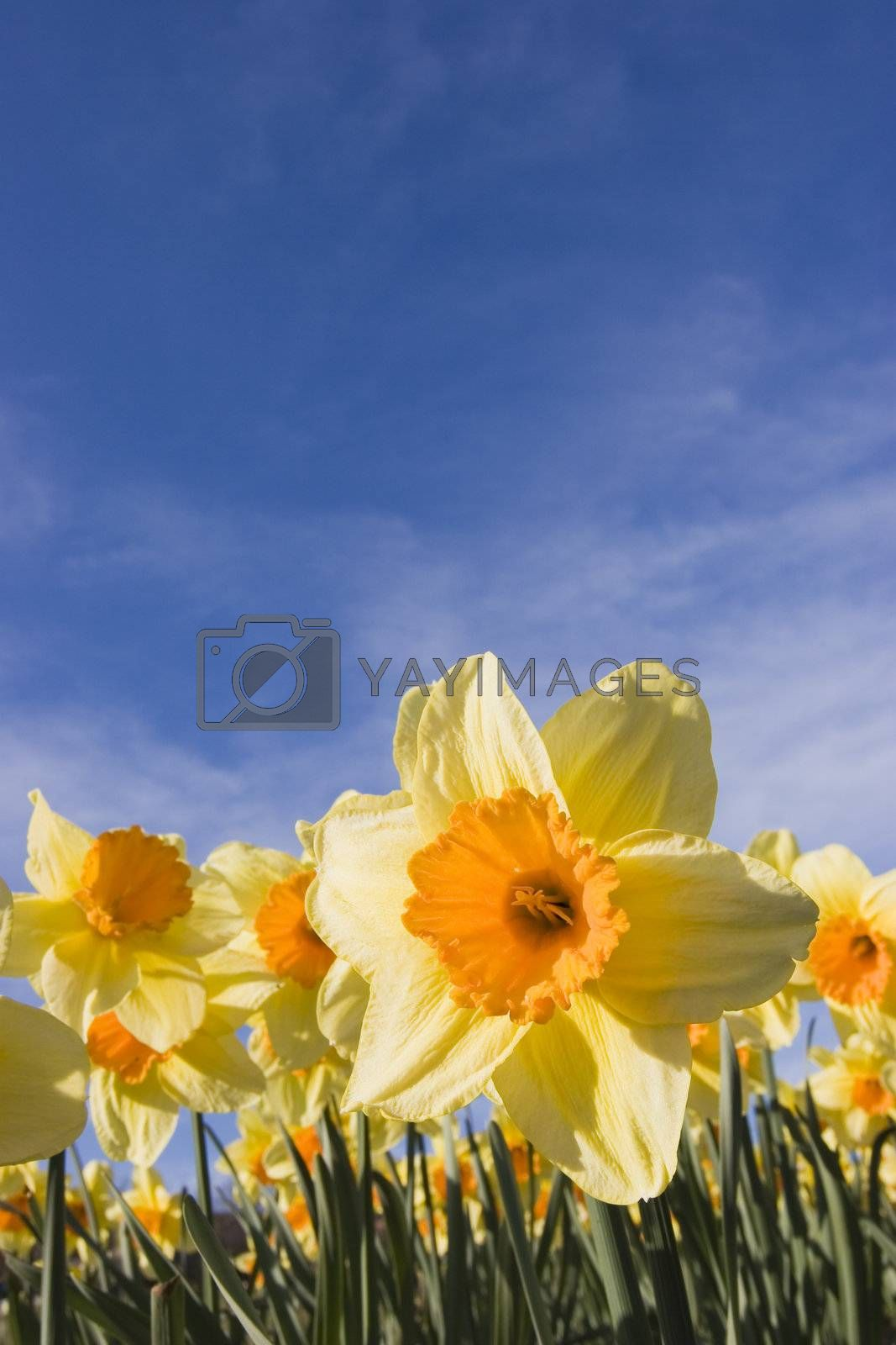 Yellow daffodils in a garden against blue sky