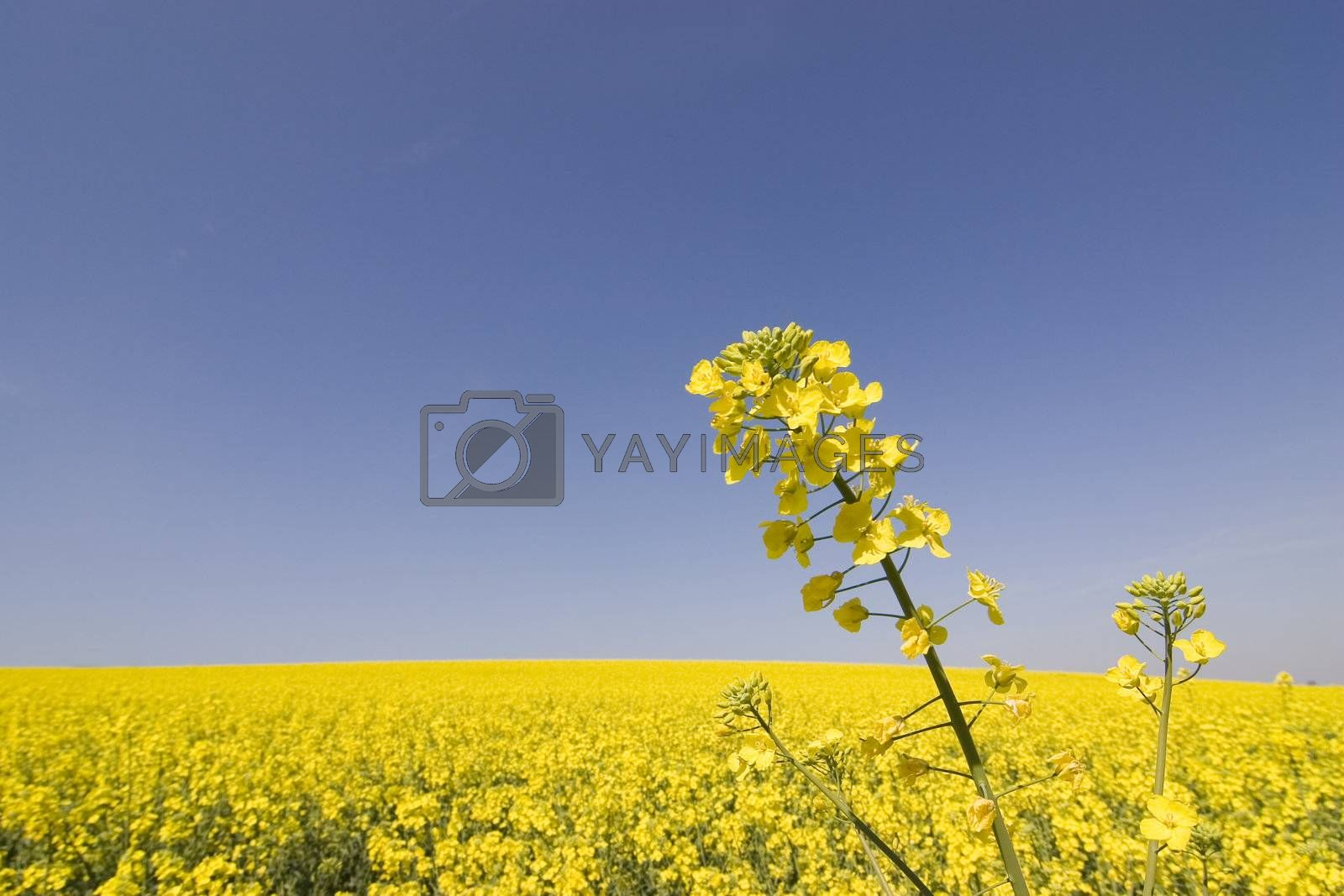 Field of yellow flowers by ArtmannWitte