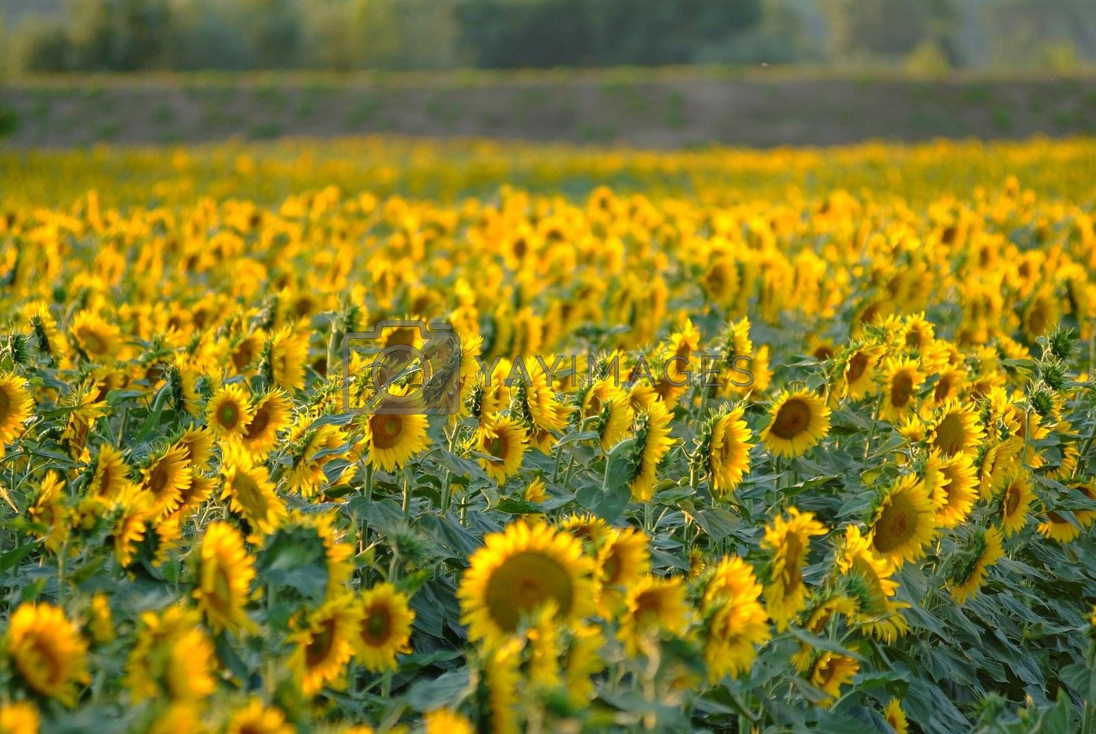 Sonnenblume | sunflowers by fotofritz