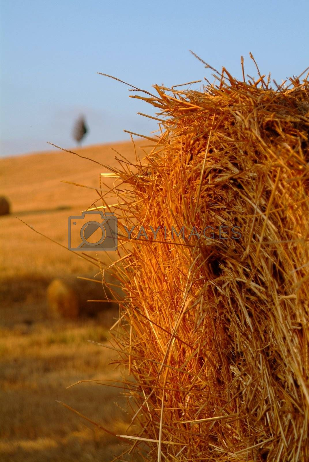 four straw bales one tree in flied of wheat