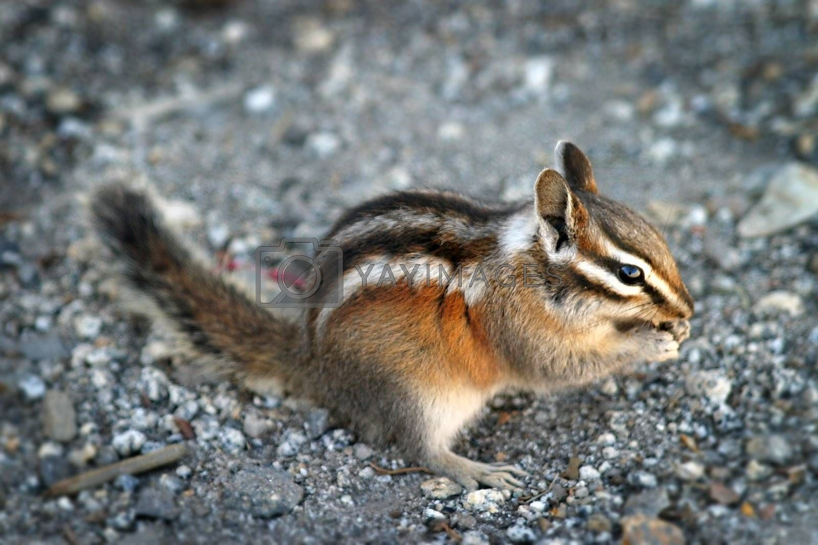 Chipmunk by hlehnerer