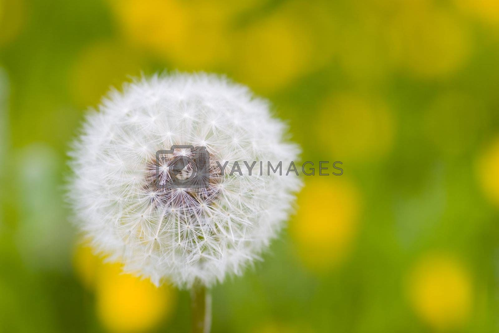 Close-up of a dandelion in a green meadow with yellow flowers. Focus only on the center of the dandelion