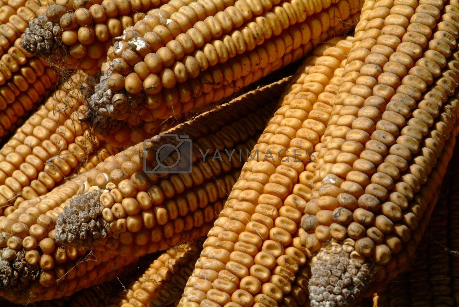 some old and dry yellow corn cobs