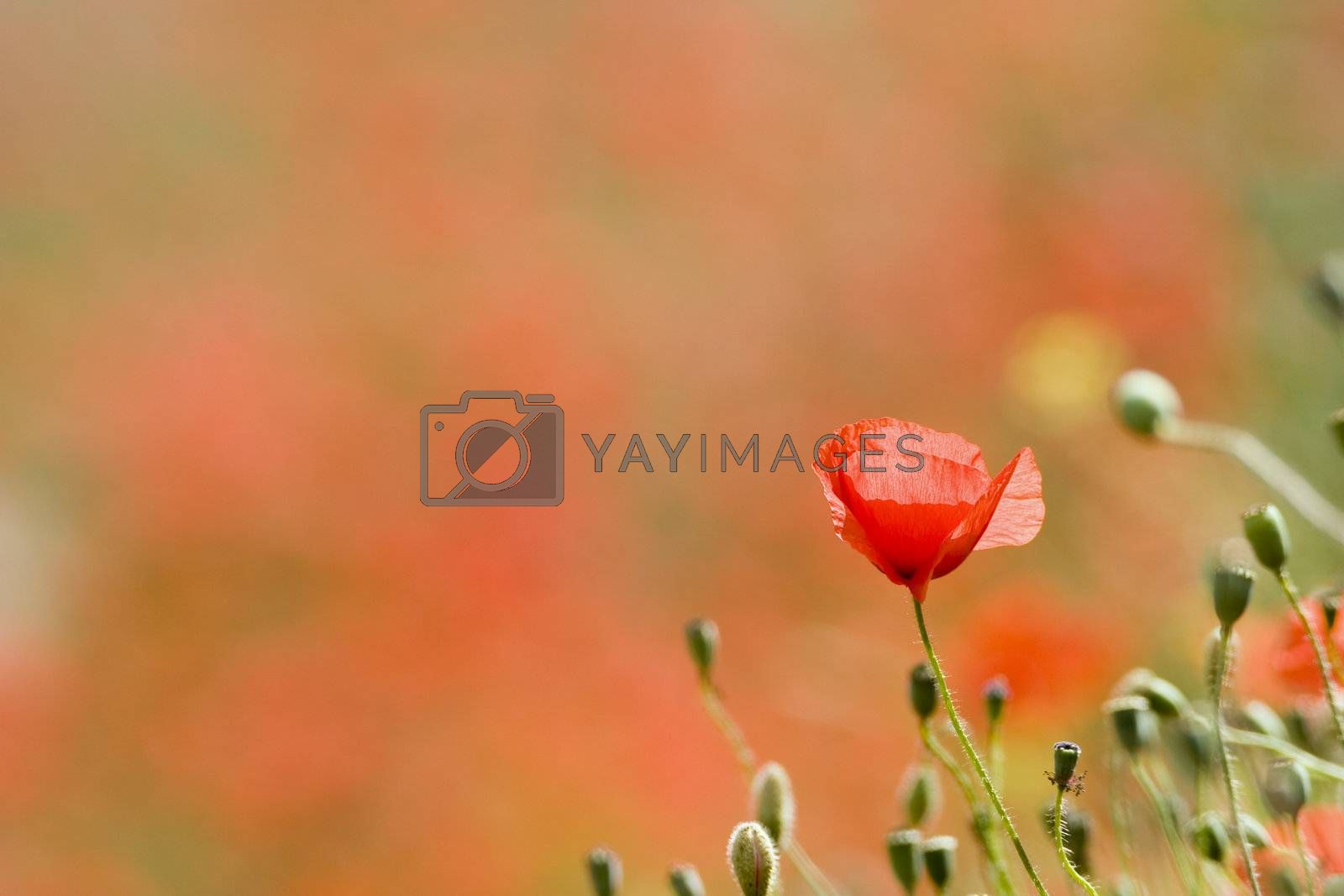 Poppy by ArtmannWitte