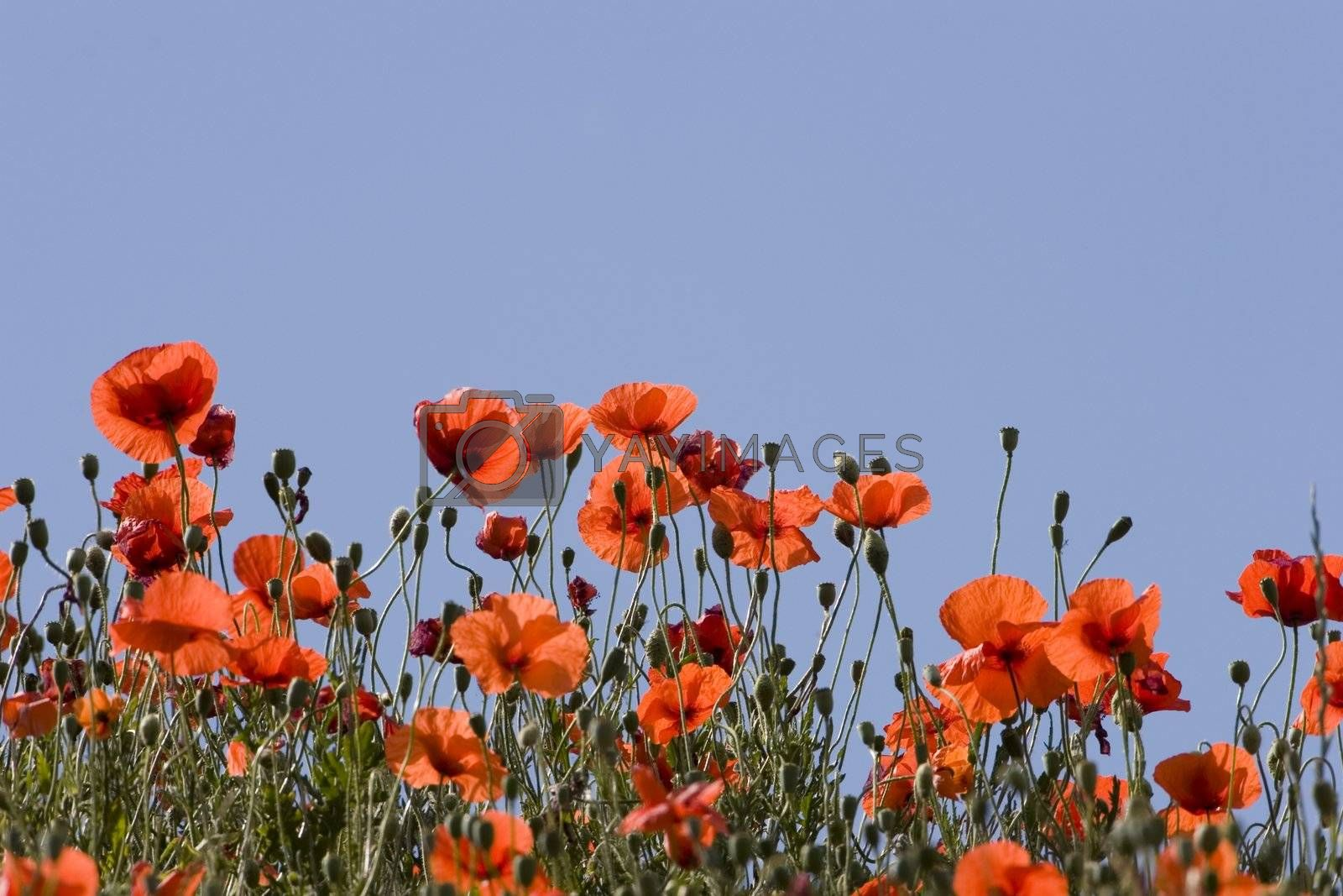 Poppies in the sun by ArtmannWitte