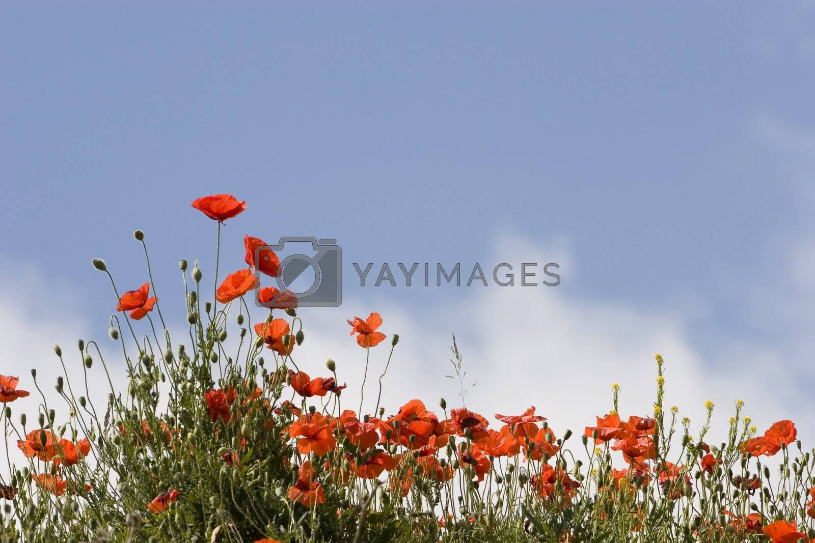 Poppies against blue sky with clouds