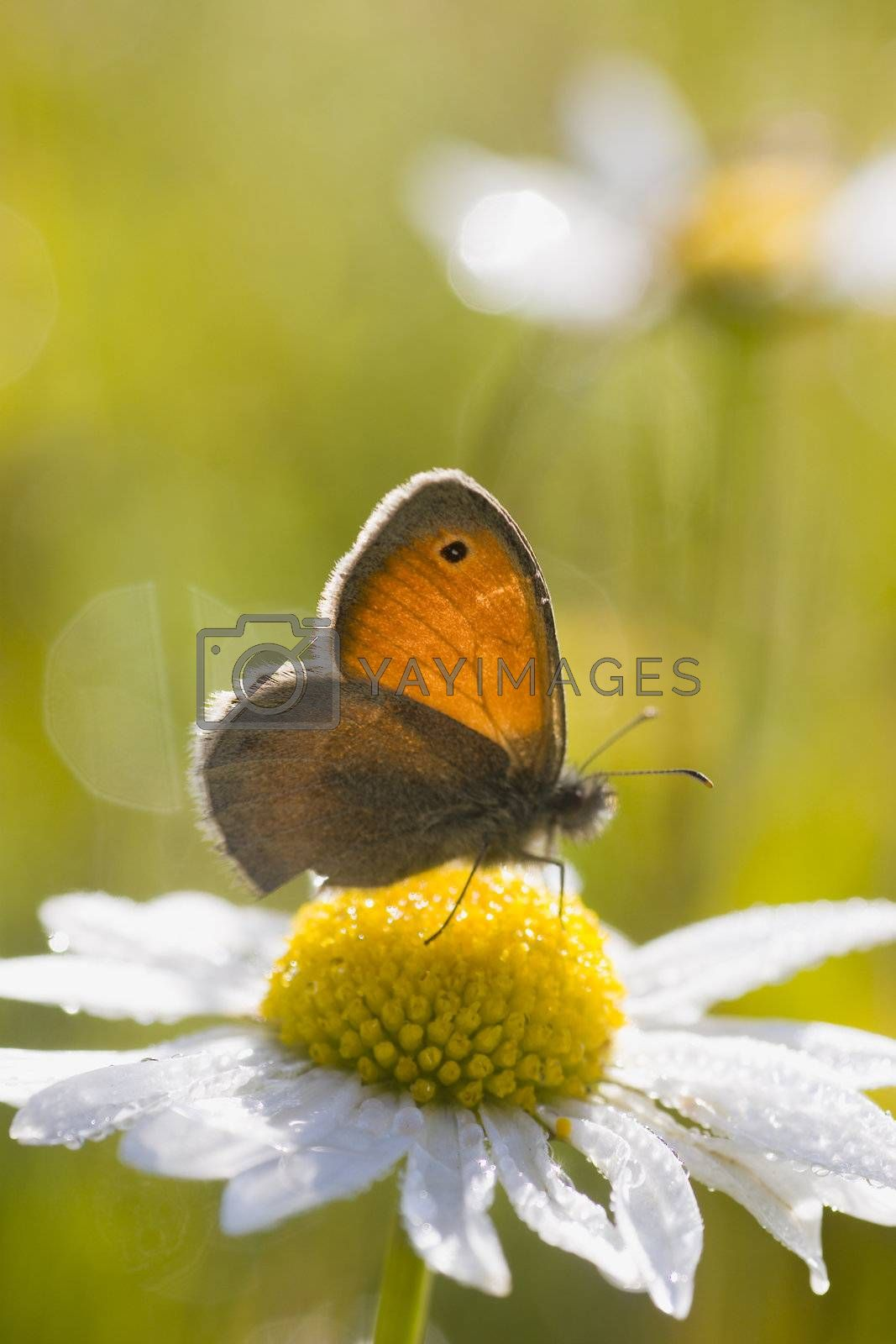 Close-up of a butterfly on a marguerite early in the morning.