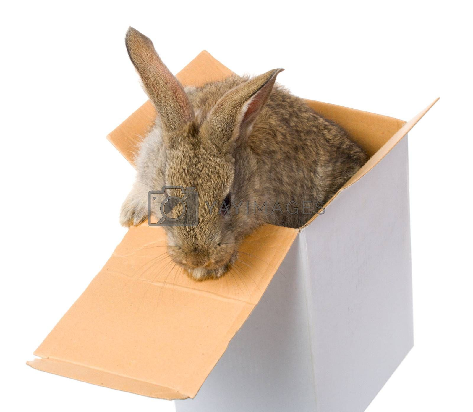 close-up bunny on box as gift, isolated on white