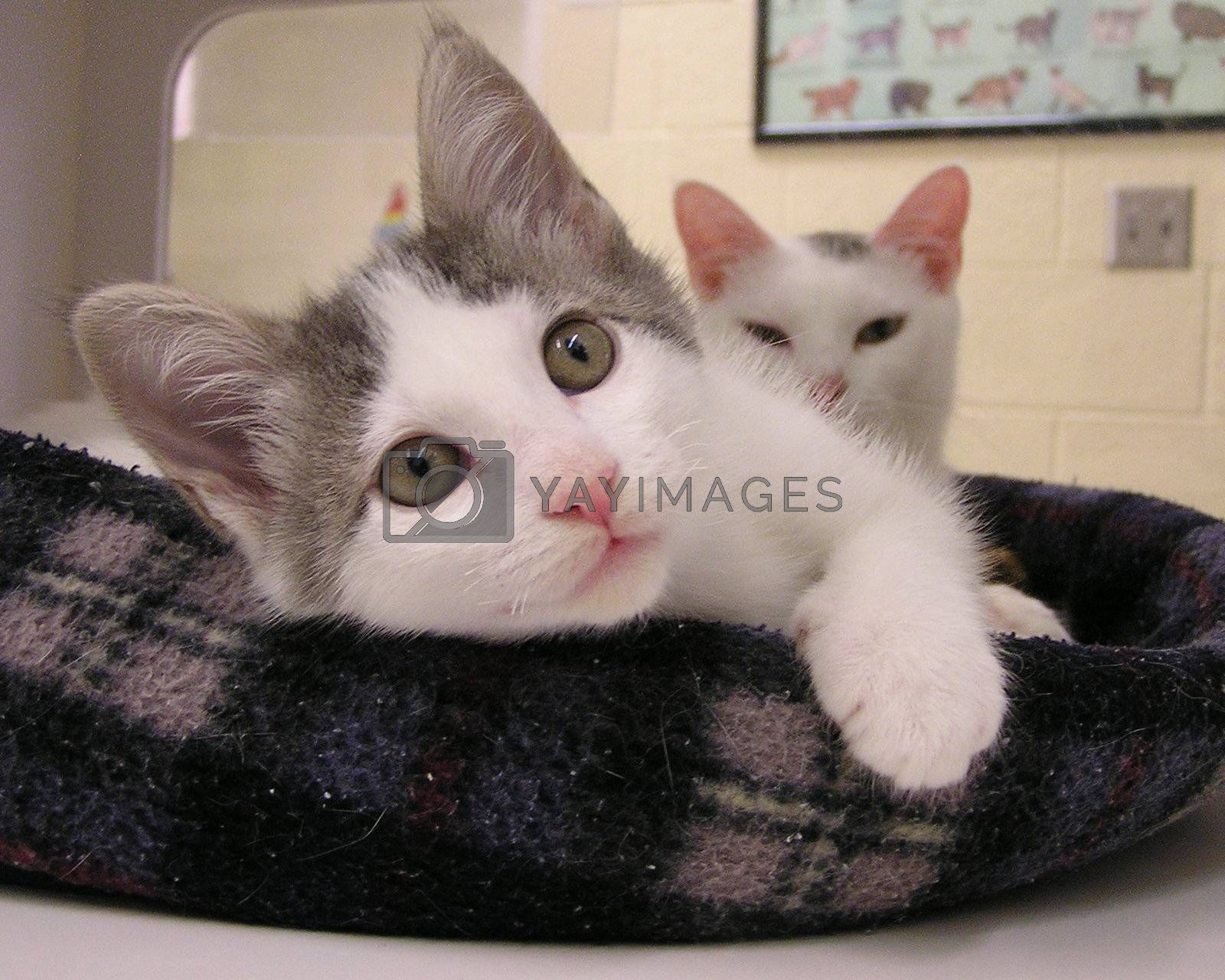 Two kittens housed at a U.S. animal shelter awaiting adoption.
