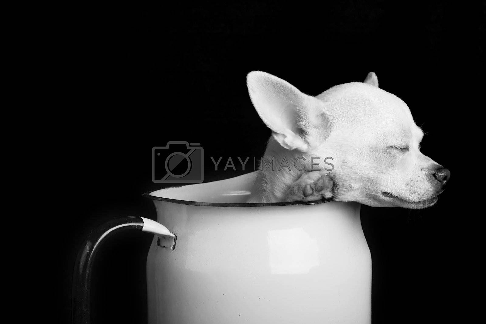 A chihuahua resting in Black and White