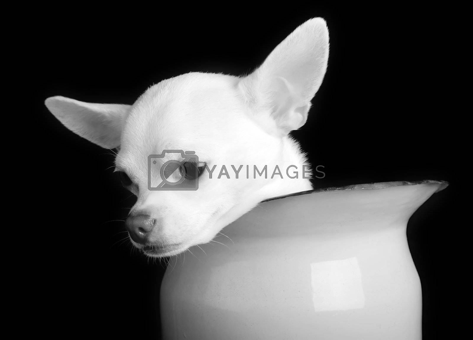 A small chihuahua showing sorrow in black and white