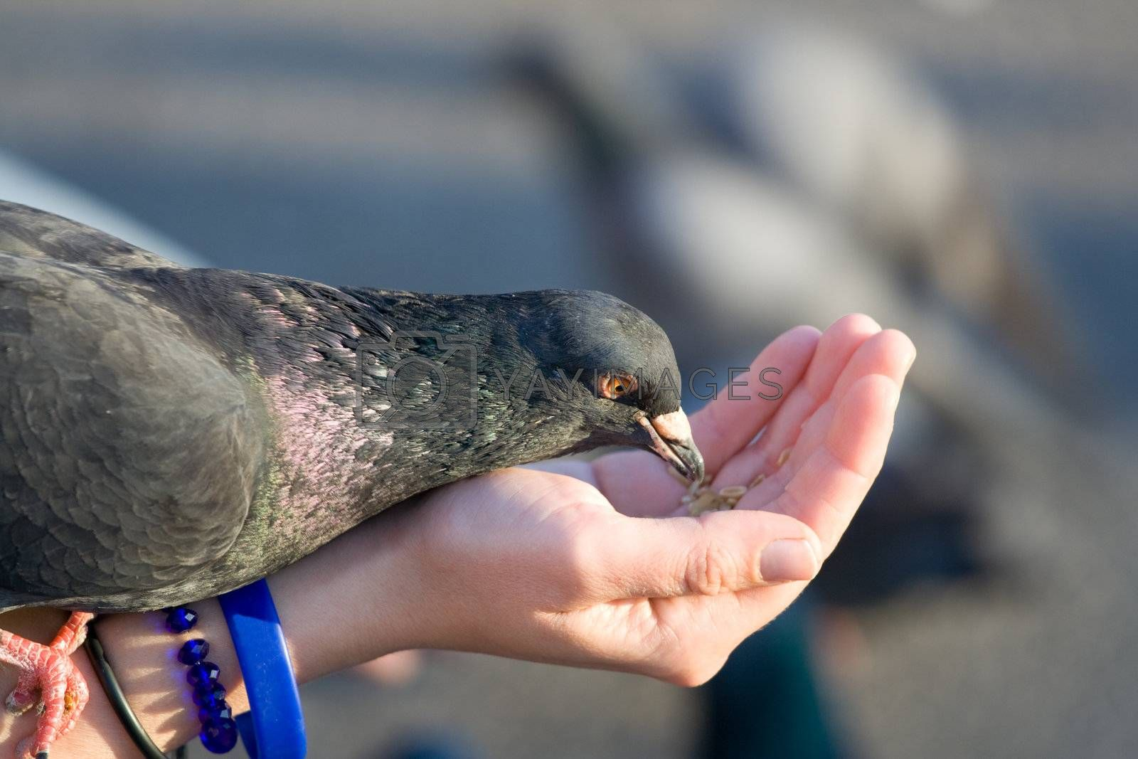 Woman cares of pigeon that is feeding seeds from palm