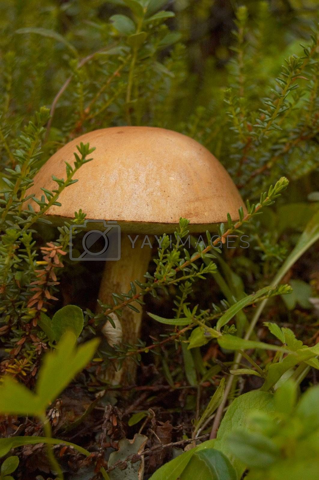The mushroom a rough boletus grows among a moss