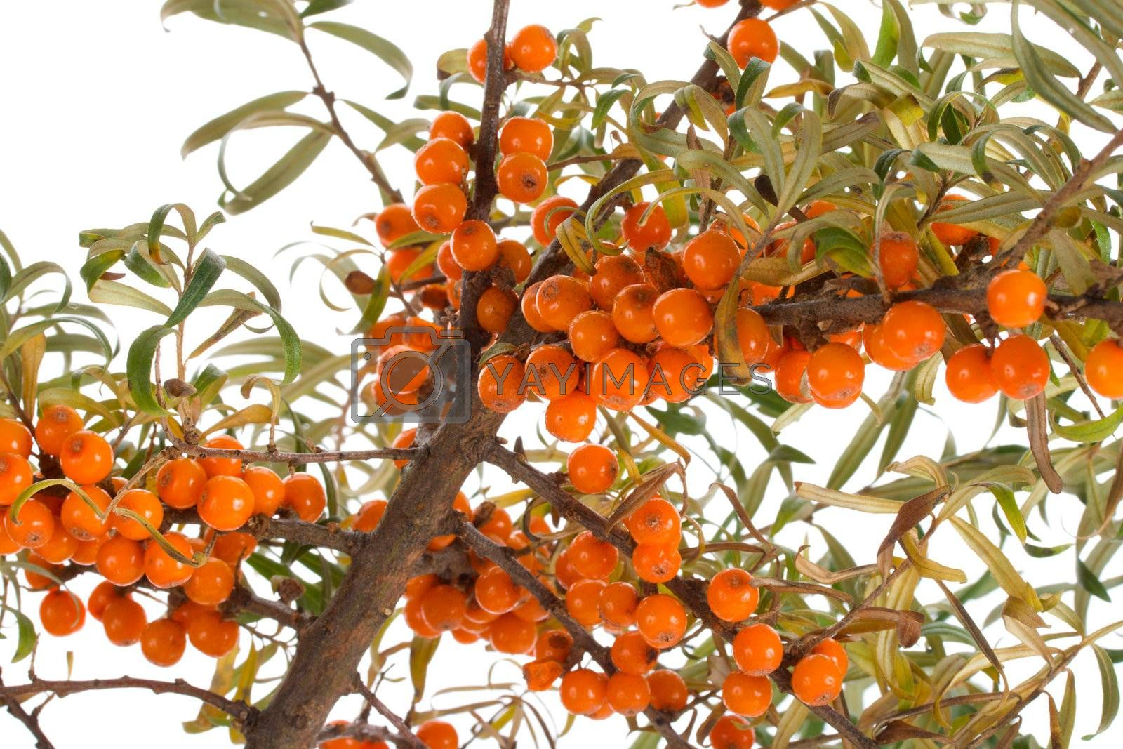 close-up sea-buckthorn branch, isolated on white