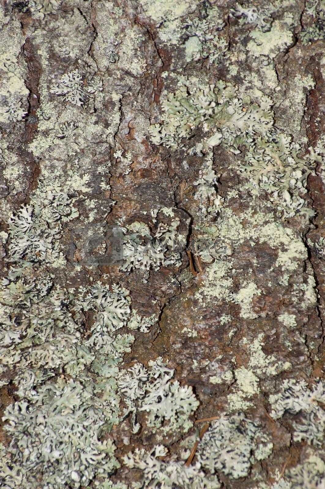 The connatural texture representing a cortex of a coniferous tree