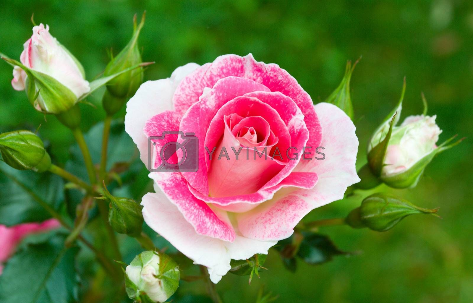 close-up pink-white roses on green grass background