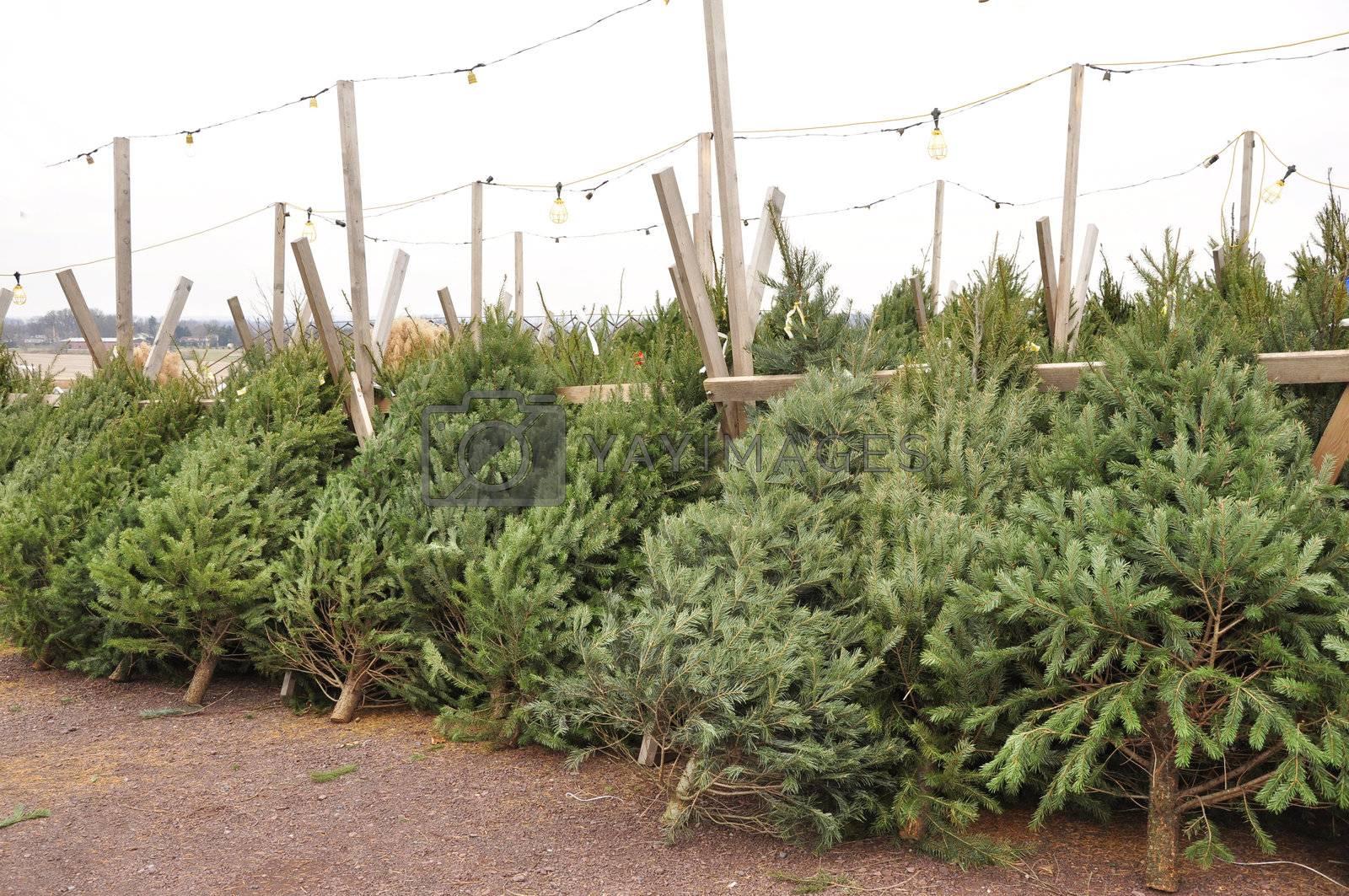 row of cut evergreen trees ready for the holiday season