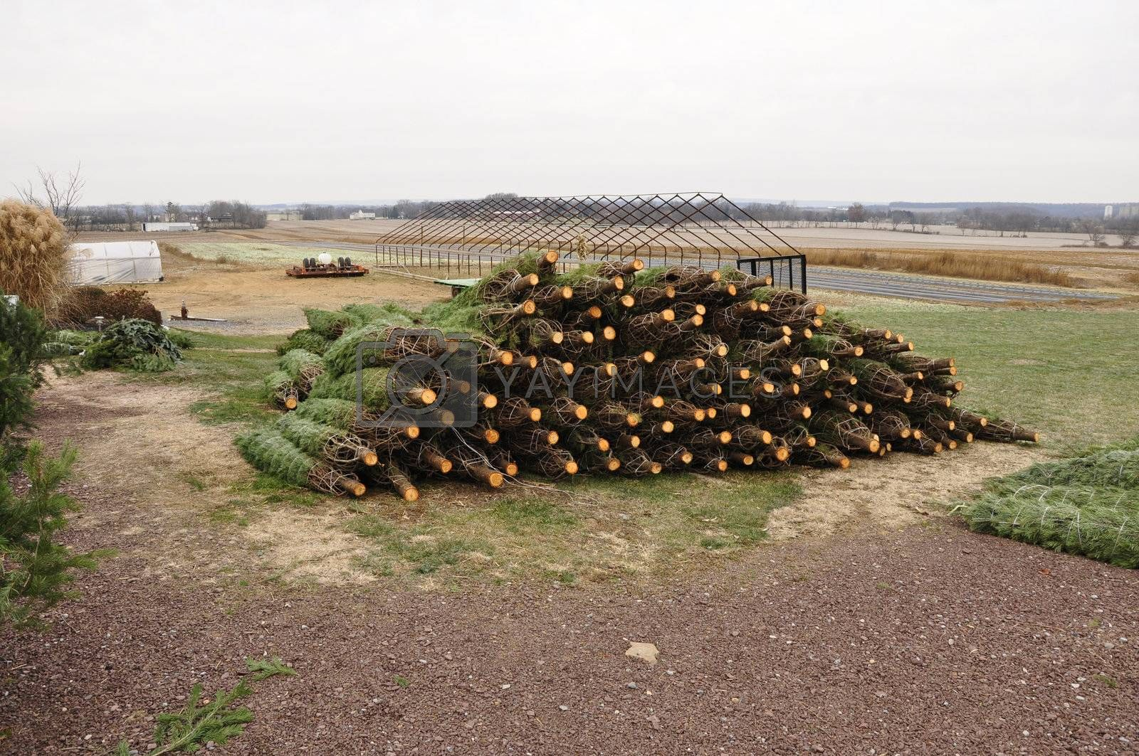 pile of cut evergreen trees ready for the christmas holiday