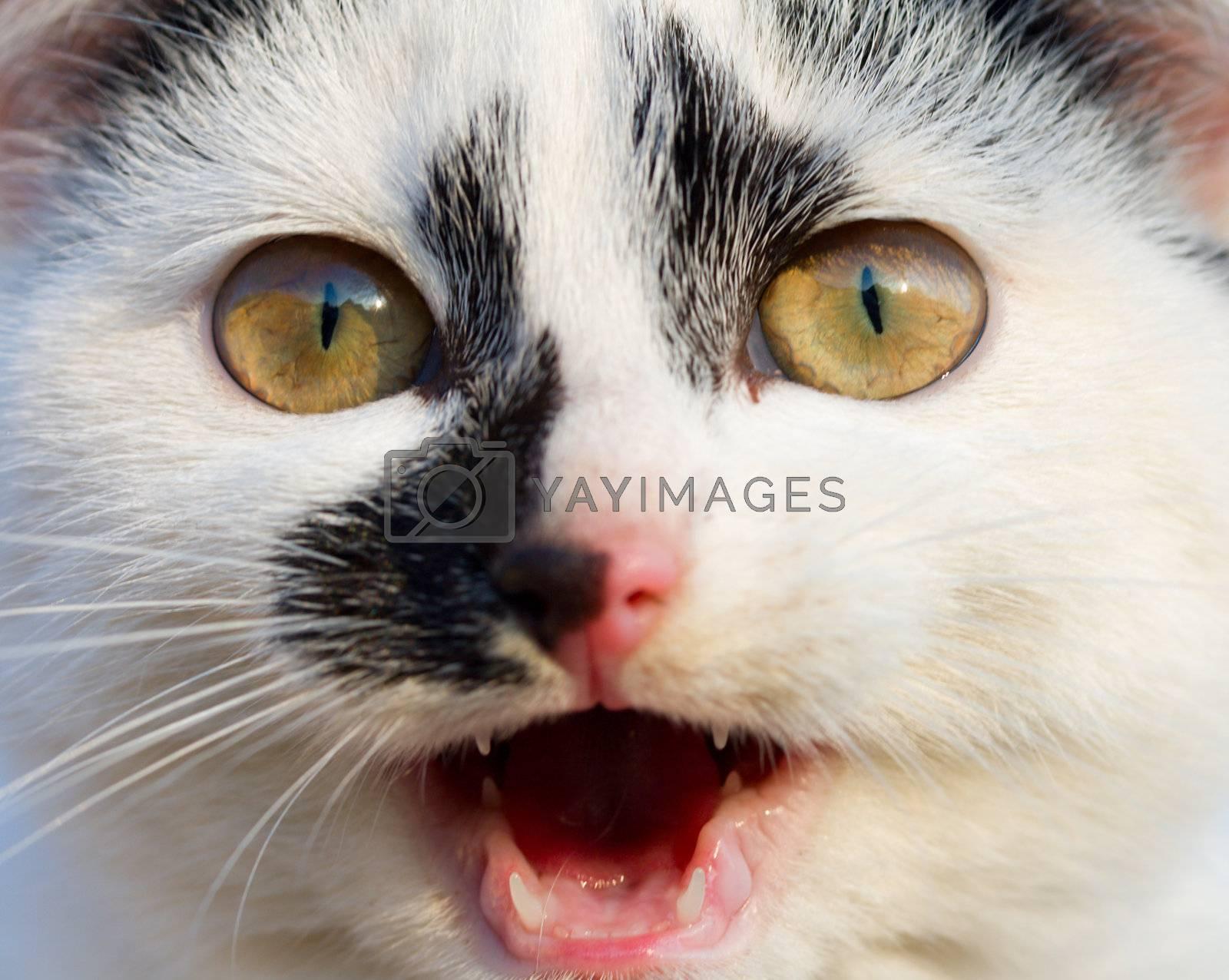 small kitten mew