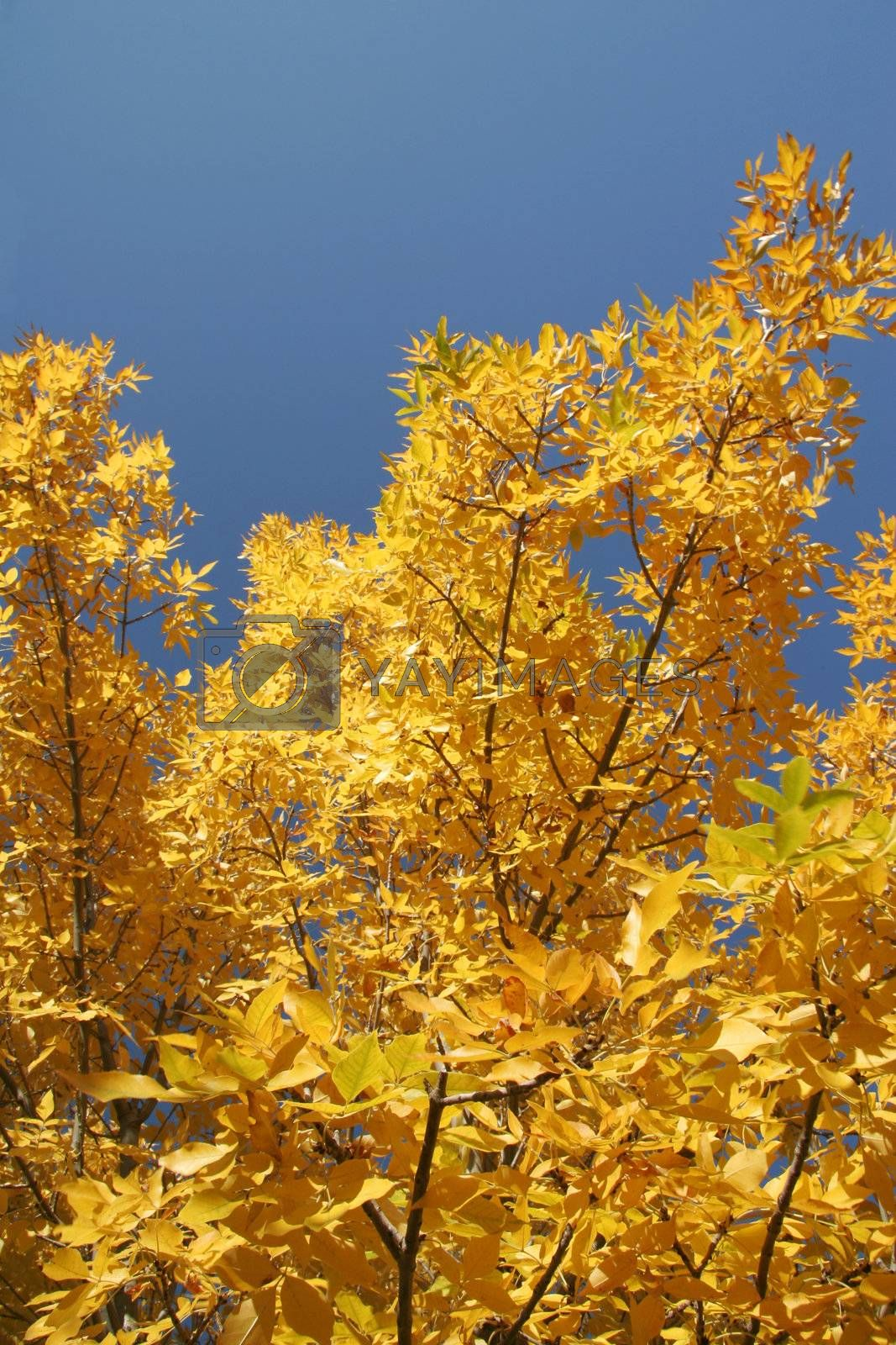 Colour of the tree in autumn