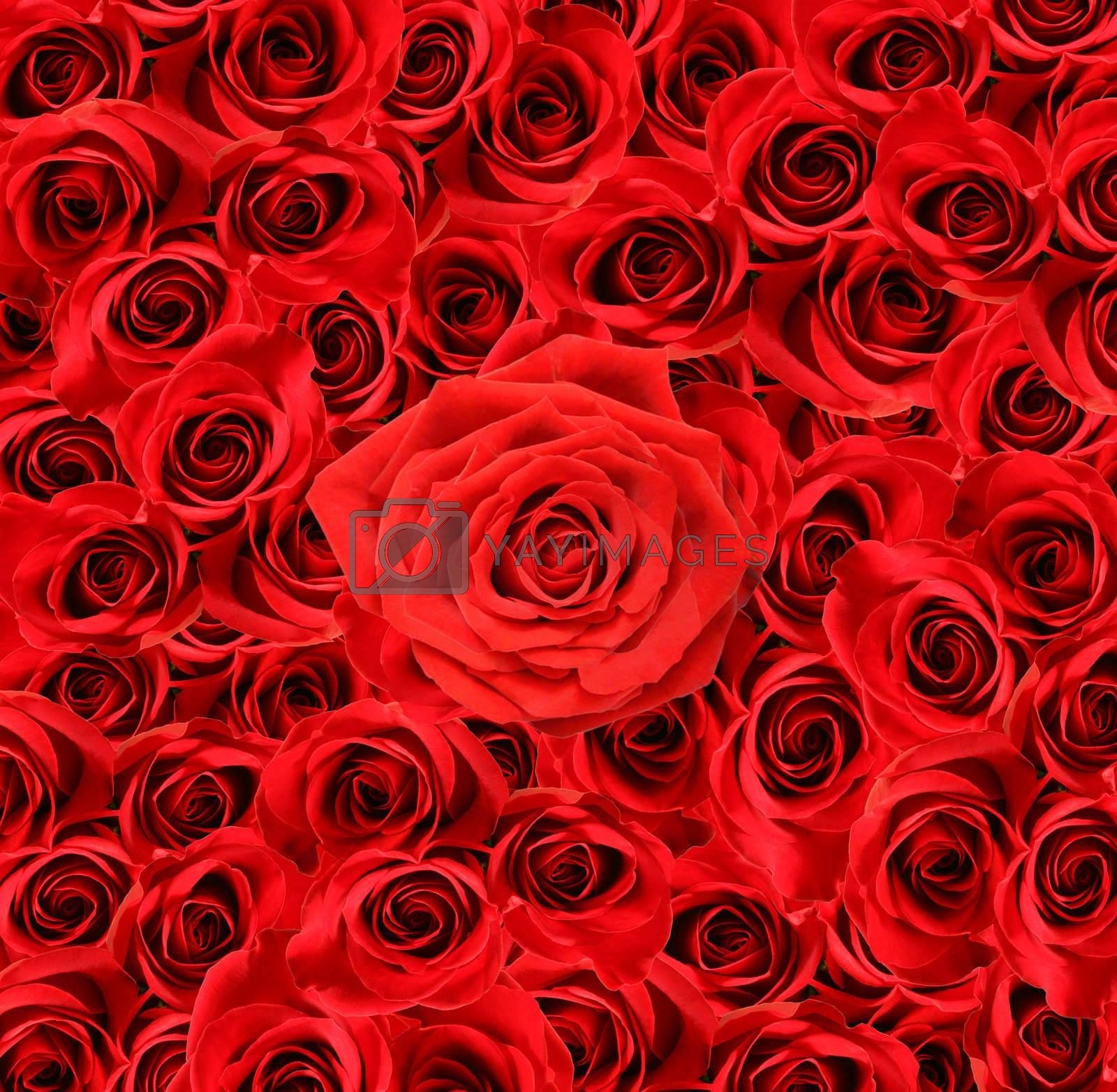 Over view of large red roses for special occasions