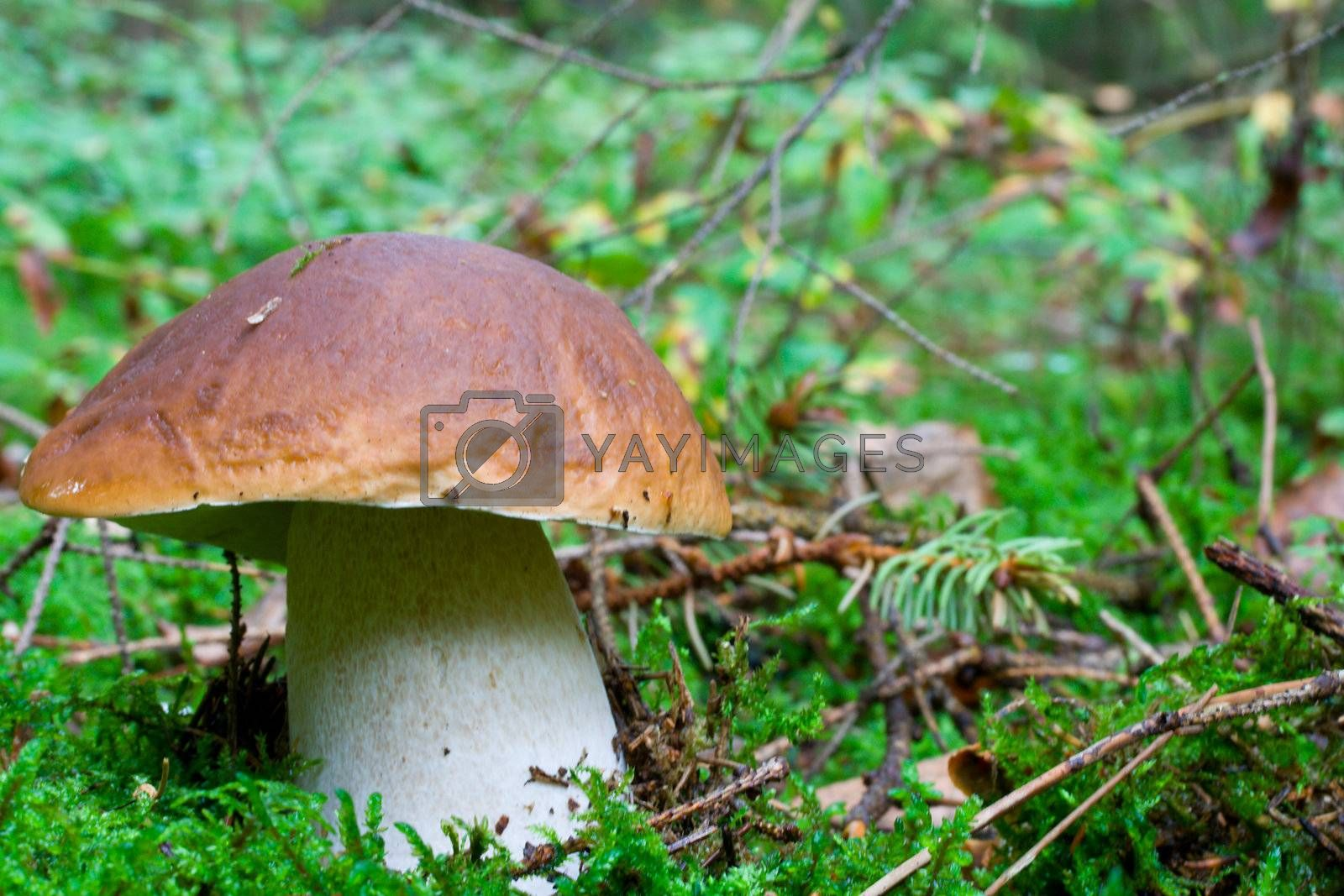 close-up big boletus in forest