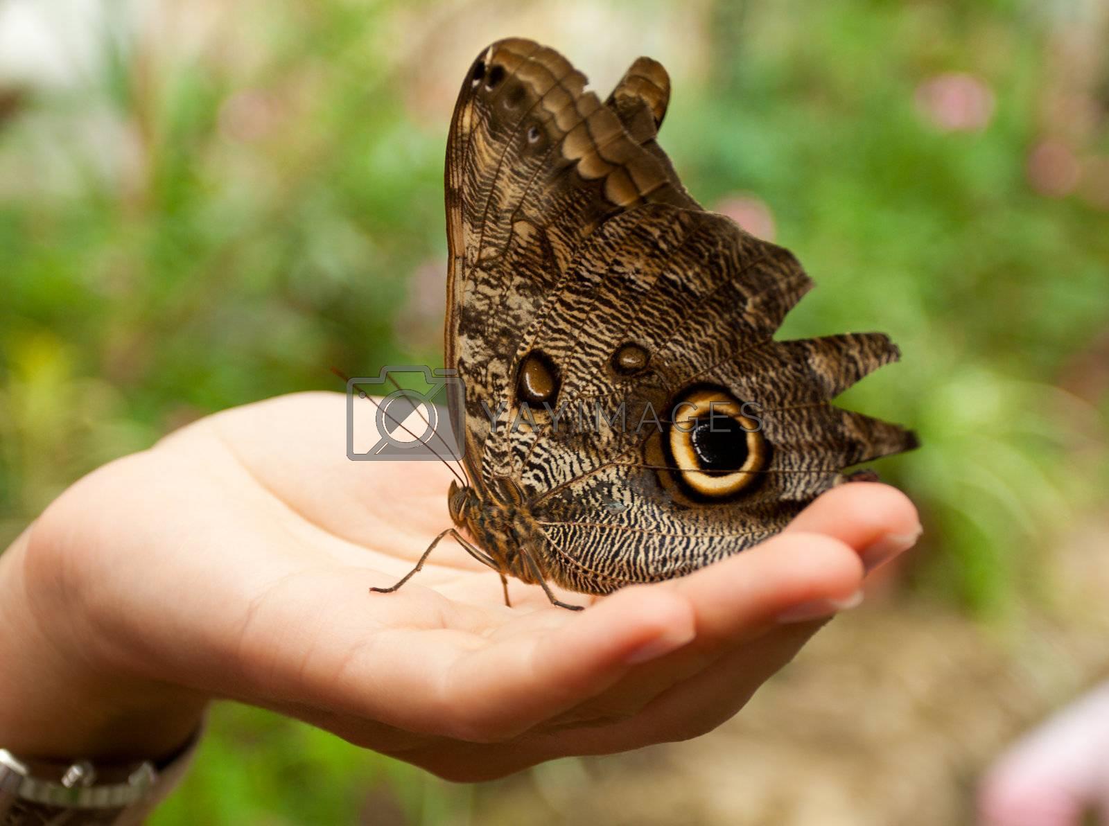 caligo memnon butterfly sitting on woman hand