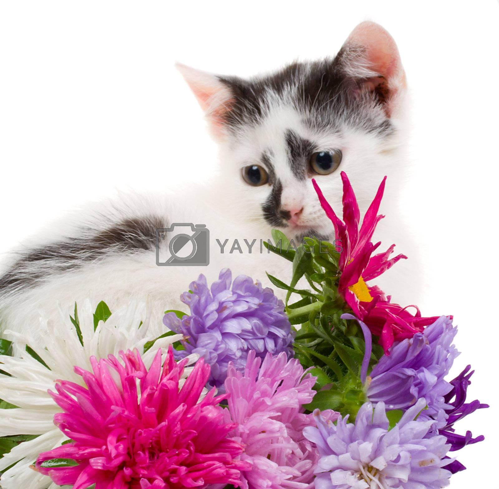 small kitten sitting near flowers, isolated on white