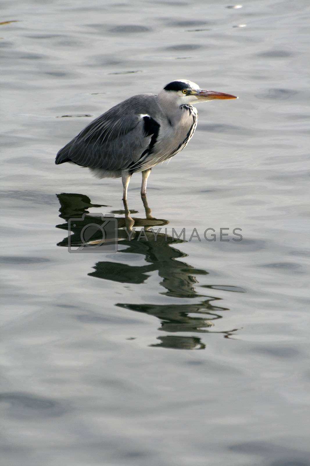 Grey Heron fishing at the waterside (Ardea cinerea) by jpcasais